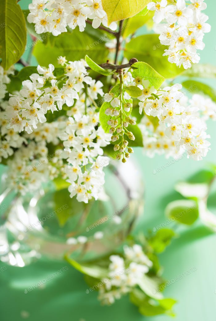 bird-cherry blossom in vase over green background
