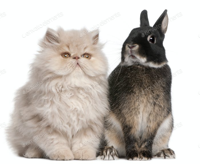 Young Persian cat and rabbit sitting in front of white background