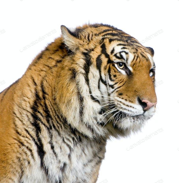 Tigergesicht