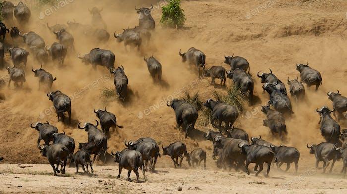 African cape buffalo55