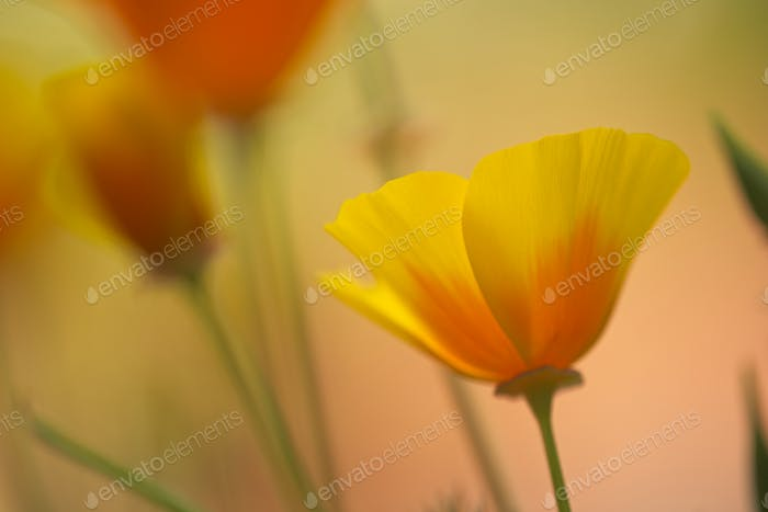 Close up of California golden poppies
