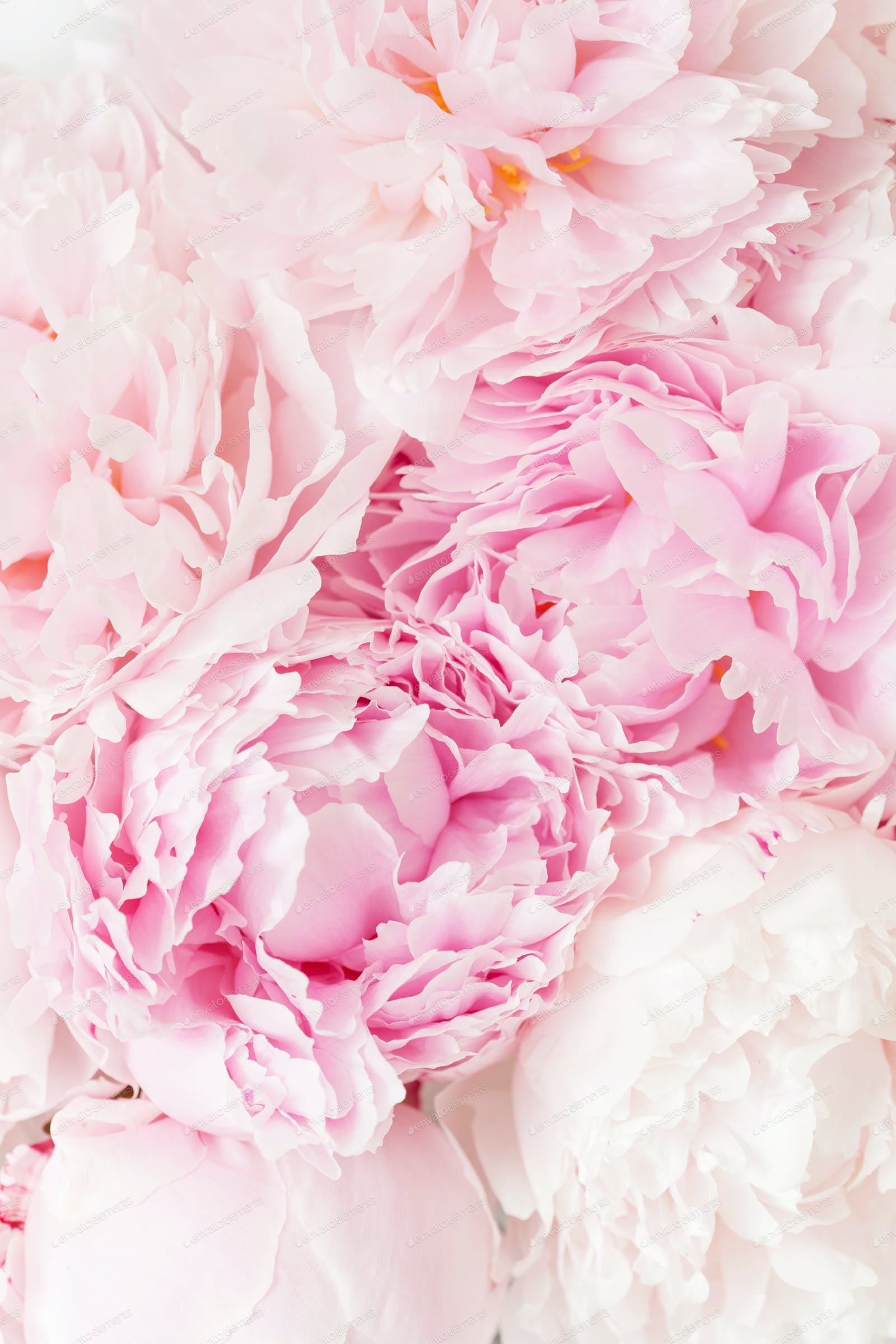 beautiful pink peony flower background photo by duskbabe on