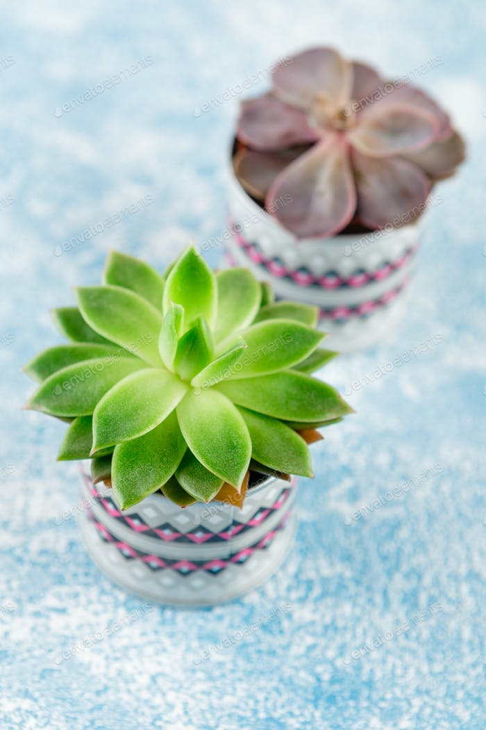 Succulent plants of echeveria and havortia
