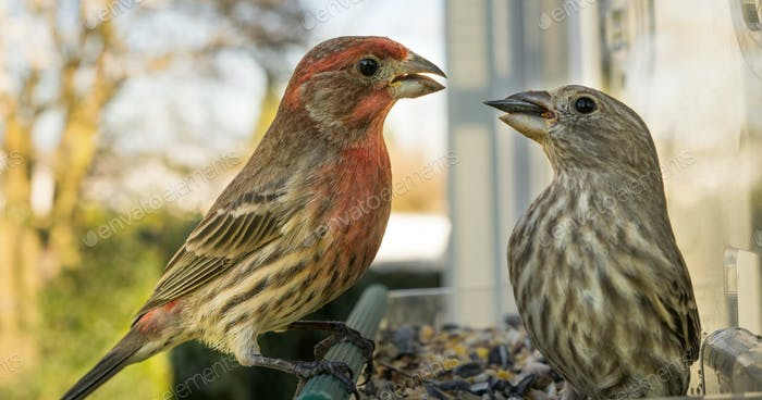 Male House Finch Perched at Bird Feeder Courting Female Animal