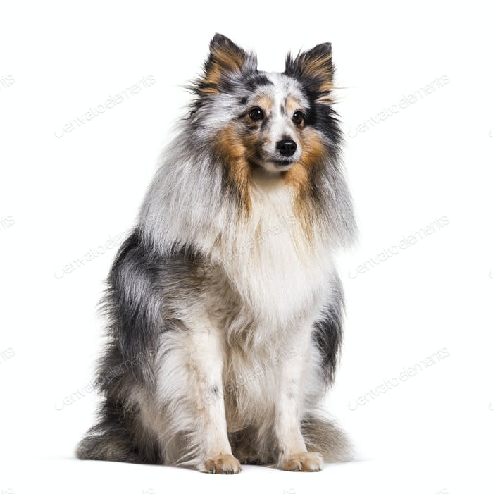 Cute Sitting Sheltie Dog, cut out