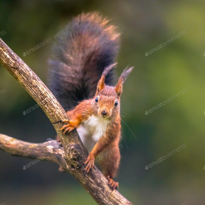 Rotes Eichhörnchen aufmerksam auf Ast