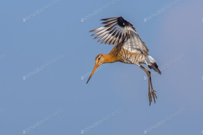 Black-tailed Godwit wader bird preparing for landing