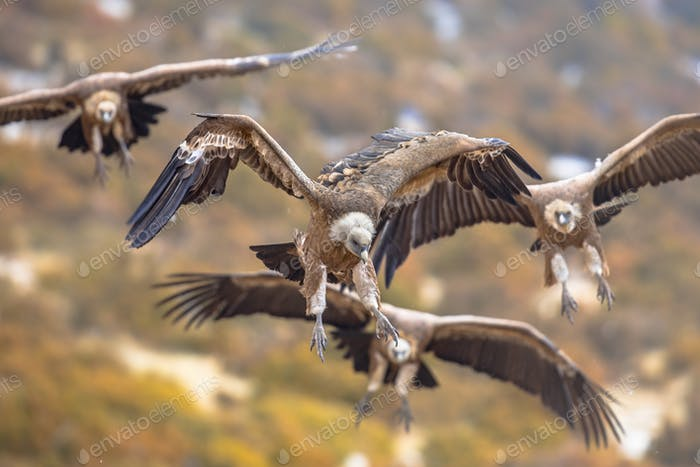 Griffon vultures flying in mist