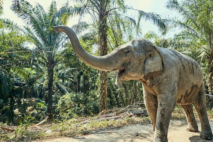 Large Asian elephant walking along a jungle path