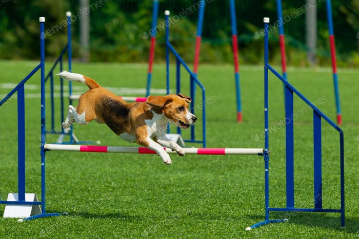 Hund beim Agility Competition