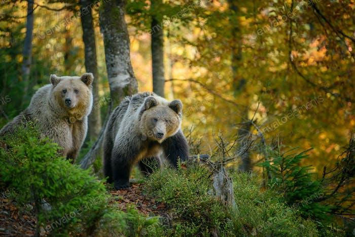 Two big brown bear in the forest. Dangerous animal in natural habitat. Wildlife scene