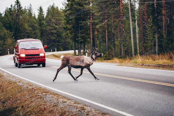 Reindeers crossing a road in autumn season in Finland