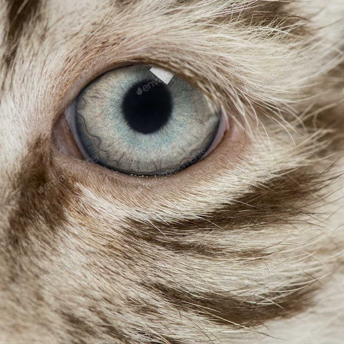Macro of a White tiger cub eye (2 months old)