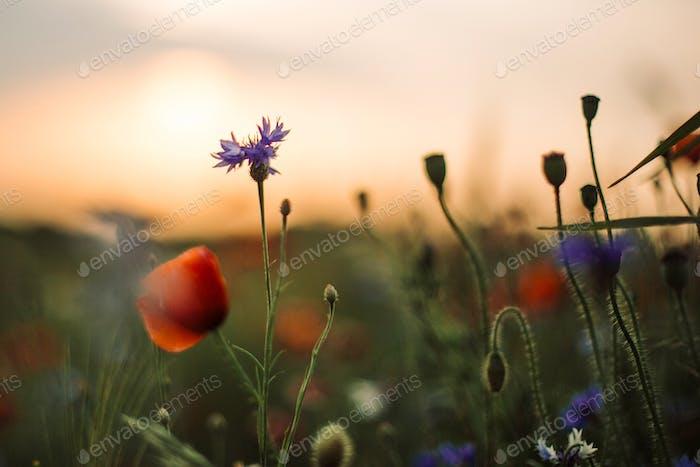 Flores de amapola y hierba verde en la luz del atardecer en el prado de verano