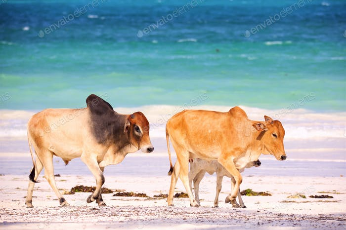 Brown african cows