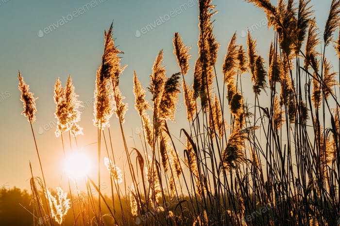Dry Grass In Sunset Sunlight. Beautiful Plant On Sunrise Sky Bac