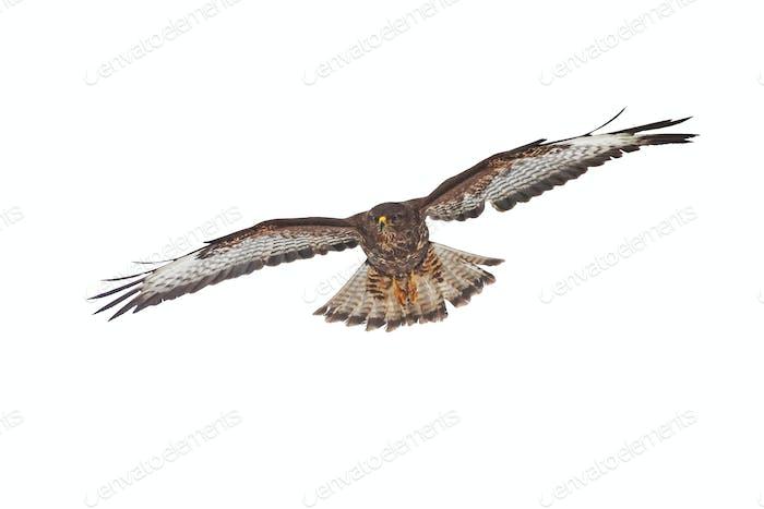 Bussard, Buteo buteo, fliegen isoliert auf weißem Hintergrund