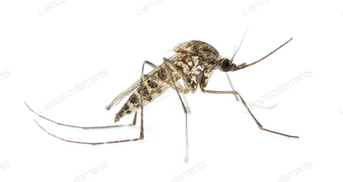 Tiger mosquito isolated on white