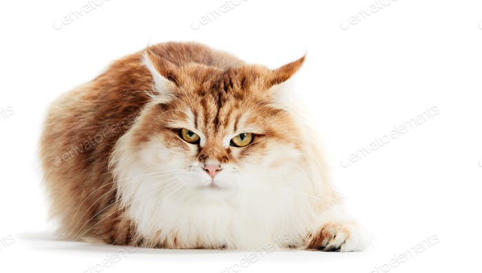 Siberian cat isolated on white background. Purebred