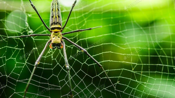 weibliche Golden Web Spider Nephila pilipes