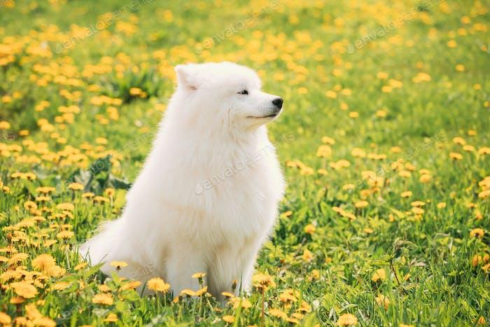 Lustiger junger glücklicher Lächelnder weißer Samoye-Hund oder Bjelkier, Sammy S