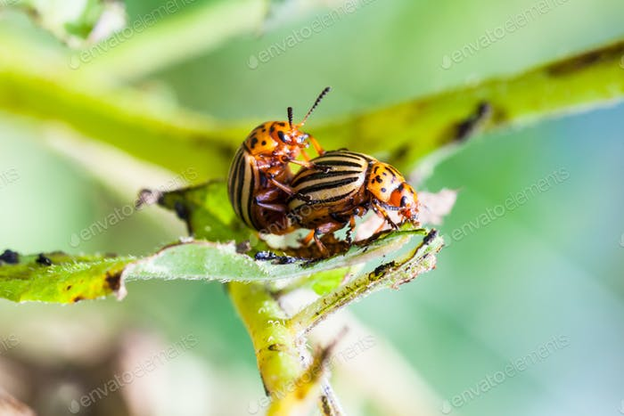 pair of colorado potato bugs on potato bush