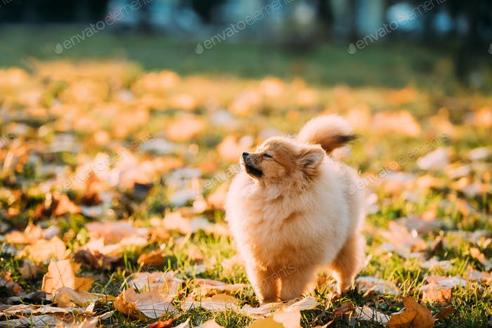 Young Red Puppy Pomeranian Spitz Puppy Dog Sniffing Air Outdoor