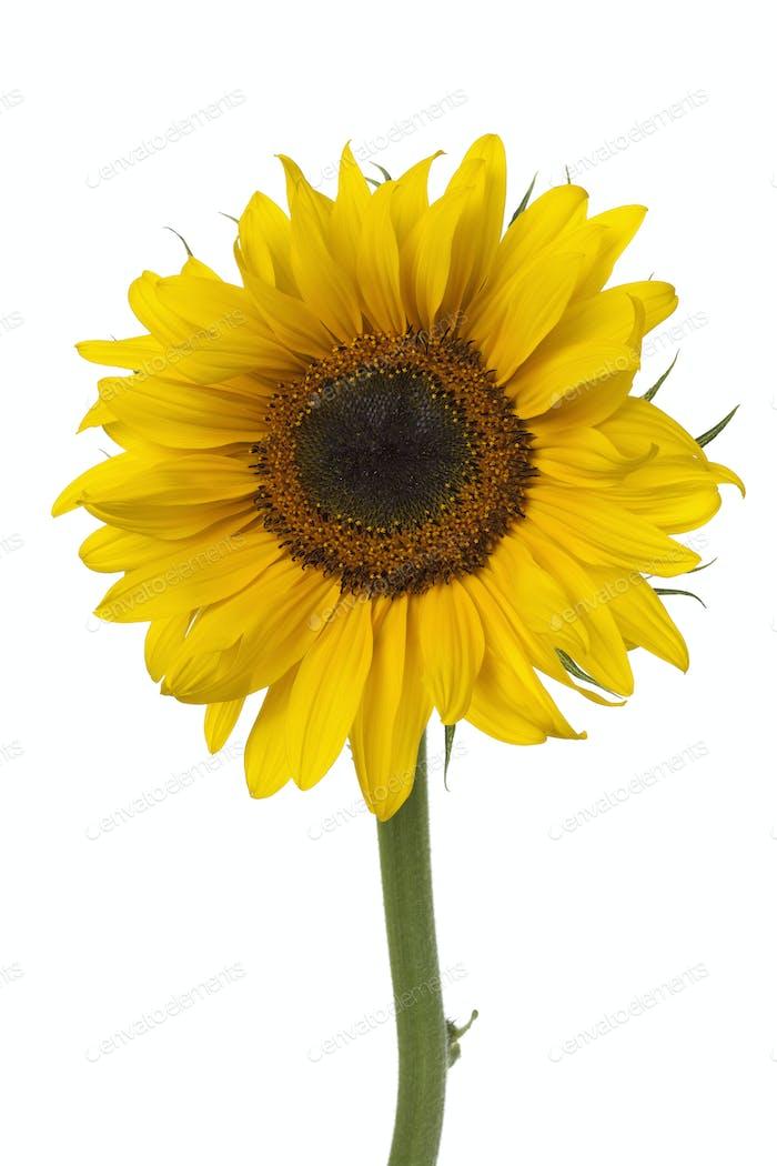 Single fresh sunflower