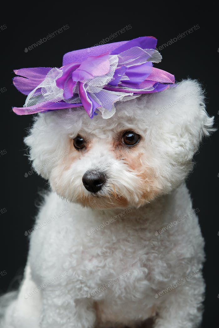 schöner Bichon Frisee Hund in niedlicher Hut