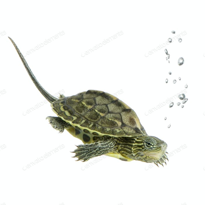 Schildkröte - OCADIA SINENSIS