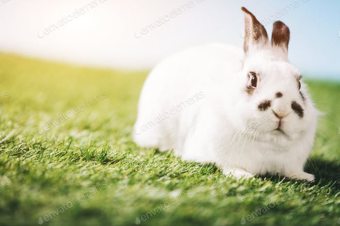 White rabbit laying on green grass.