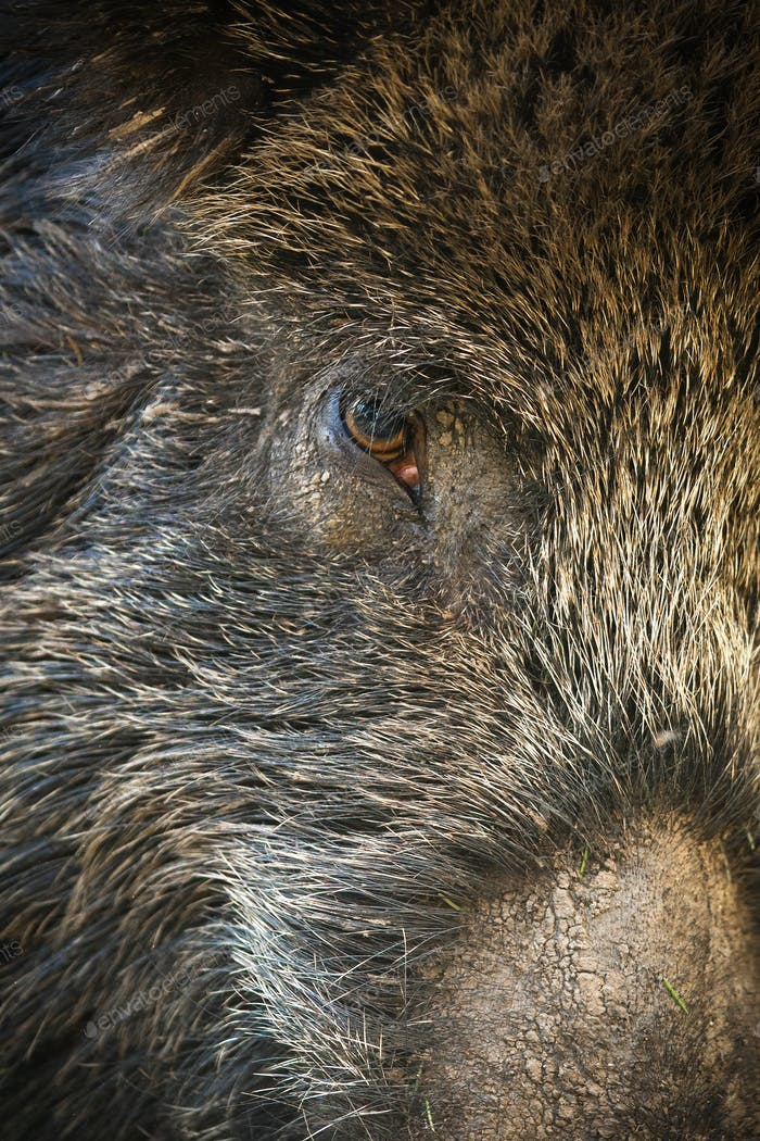 Detail of wild boar hairy head in full frame shot