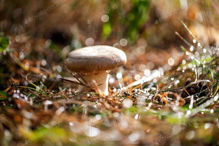 Pilz Steinpilz In einem sonnigen Wald im Regen.