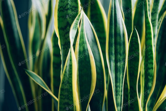Green succulent plant. Macro of leaves of Sansevieria trifasciata, Snake Plant. Tropical background