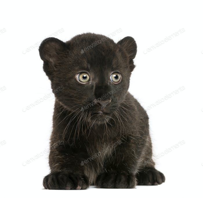 Black Leopard cub kneeling, 3 weeks old, isolated on white