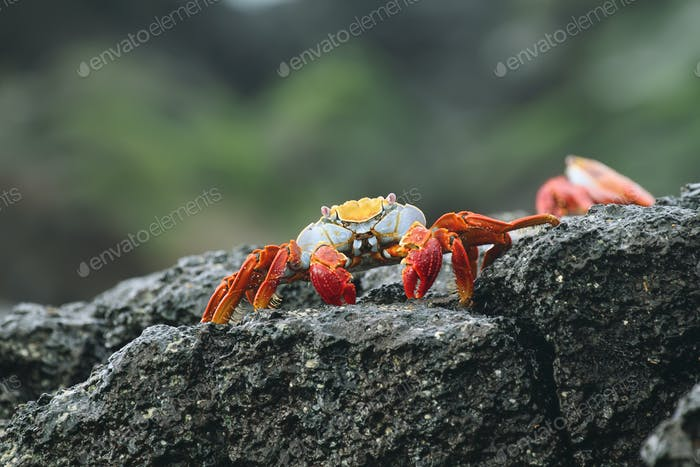 Galapagos crab, Galapagos Islands, Ecuador