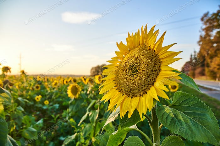 Sunflower at the field