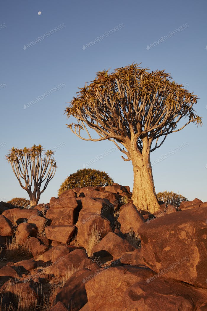 Tall African Baobab trees, Quiver trees, Adansonia at sunset  in the rocky landscape at