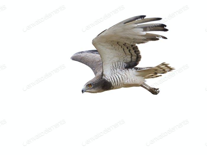 Beaudouins Schlangenadler (Circaetus beaudouini)