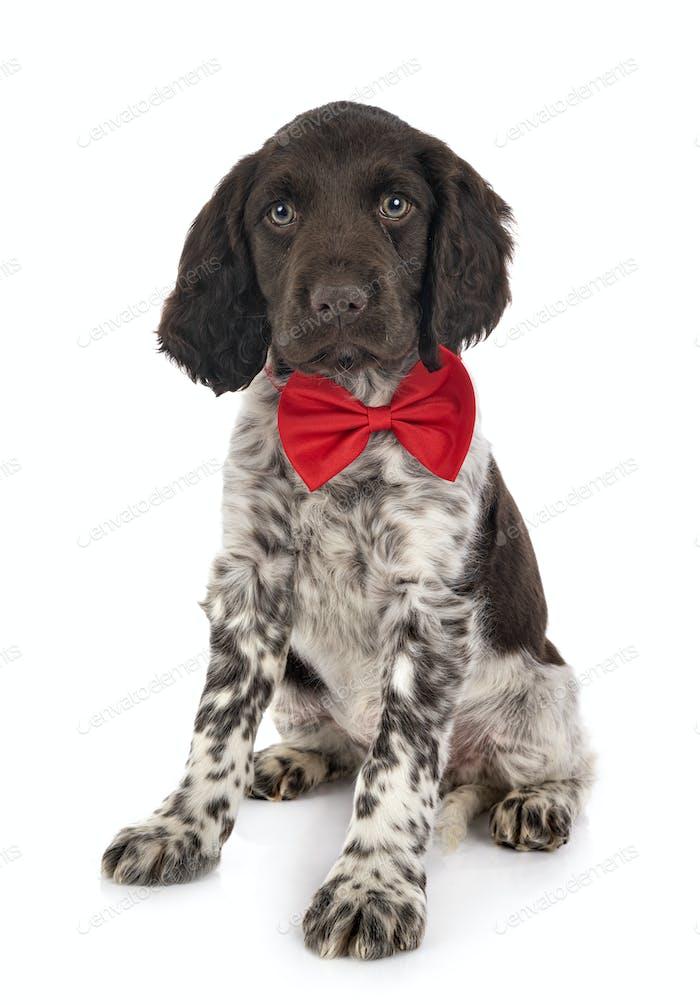 puppy Small Munsterlander
