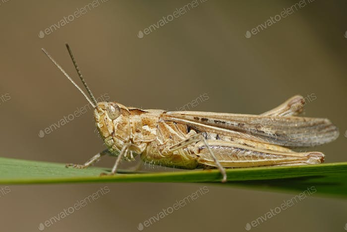 Grashüpfer (Orthoptera) Makrofoto