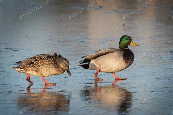 Two ducks walking on ice