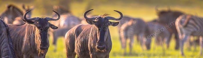 Common Wildebeest herd grazing panorama