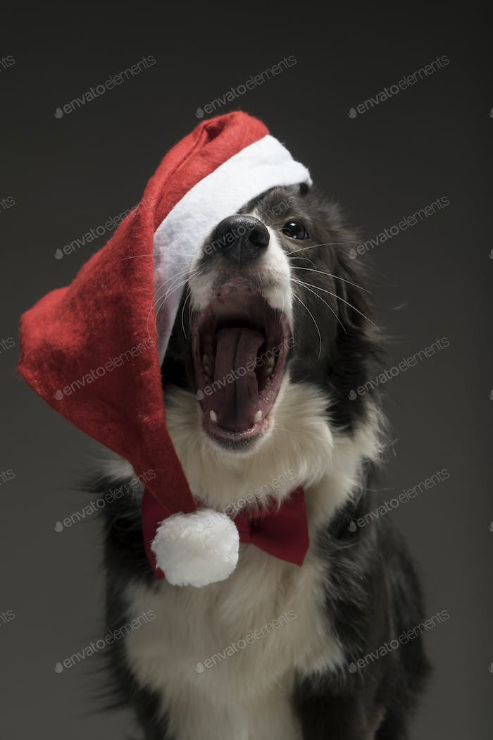 Christmas border collie dog in a red Santa hat