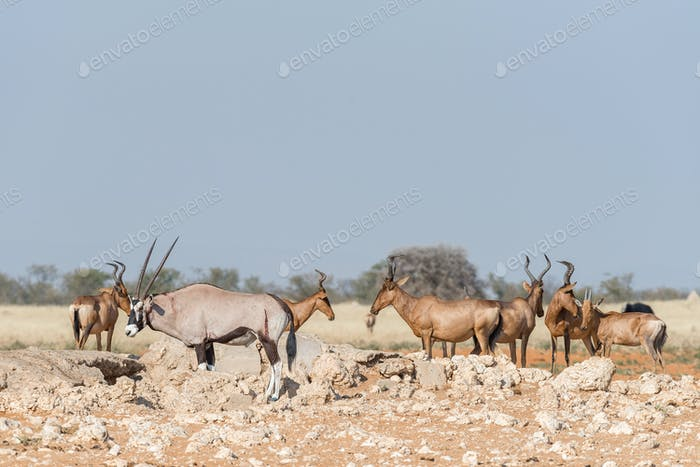 Oryx with visible wounds and red hartebeest a waterhole
