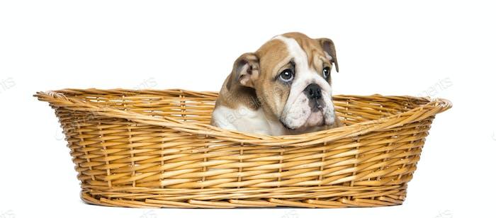 French Bulldog Puppies in einem Weidenkorb, 2 Monate alt, isoliert auf Weiß