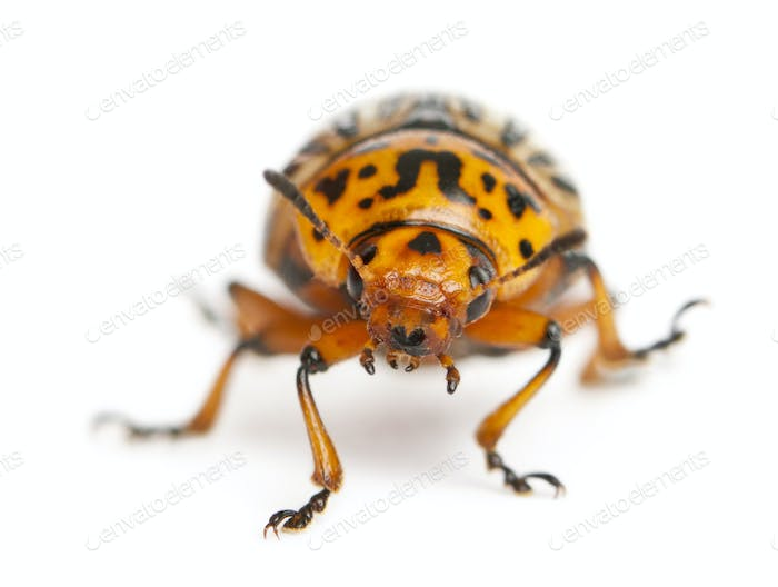 Colorado potato beetle, also known as the Colorado beetle, the ten-striped spearman