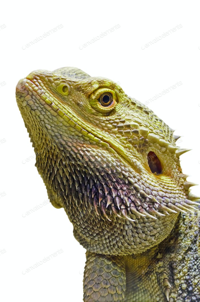 Close-up of Bearded Dragon head isolated on white