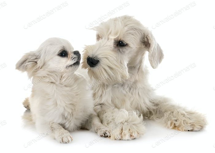 white miniature schnauzer and chihuahua