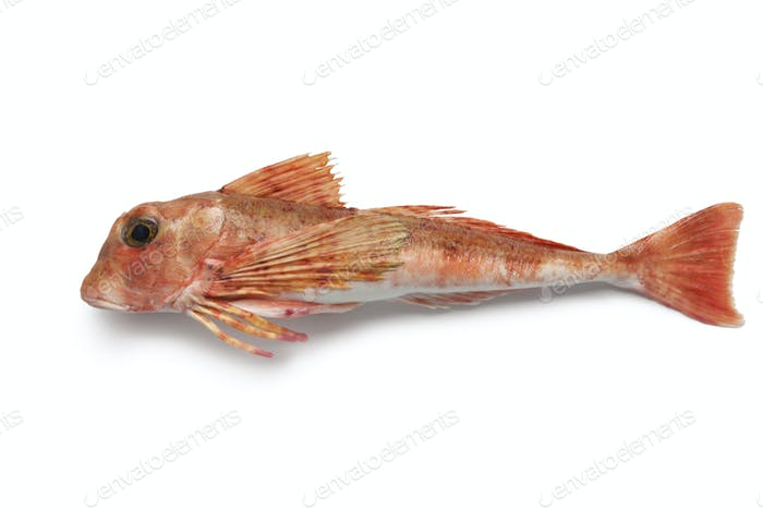 East atlantic tub gurnard